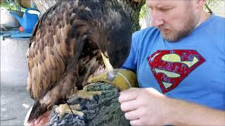 07.06.18  Орлан БЕЛОХВОСТ:) Одеваем ОПУТЕНКИ:))) white-tailed eagle