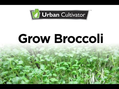 How To Grow Broccoli Microgreens | Urban Cultivator