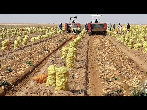 , title : 'How To Harvest Potato? - Potato Cultivation and Farming Technique Step By Step Harvesting Potato