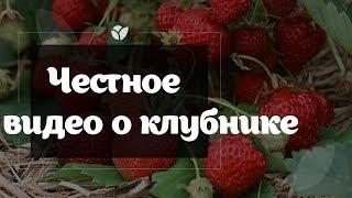 Честное видео о клубнике   Agro-market.net