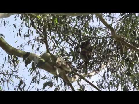 Koala mum with joey learning to balance alone