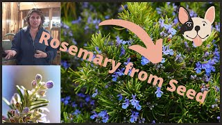 How to Grow Growing Starting Rosemary Herb  from Seed  Indoors