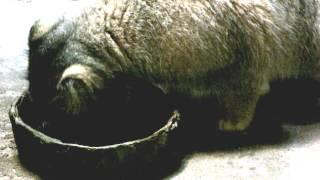 Pallas's Cat(Manul) Eating Meat.肉を食べるマヌルネコ。