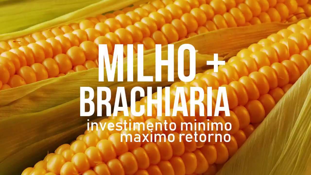 MIlho + Brachiaria - Investimento minimo, maximo retorno.