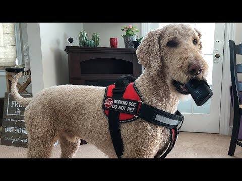 SERVICE DOG LEARNING NEW MEDICAL DEVICE (3.14.18)