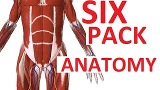 Six Pack or Abs - Abdominal Muscles Anatomy