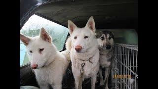 О поездке Лаек с щенками