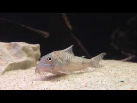 Corydoras(ln1) aurofrenatus