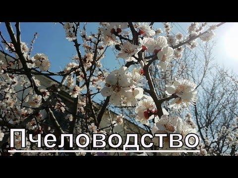Пчеловодство 12.03.2019.цветы на деревьях,радость для пчел.