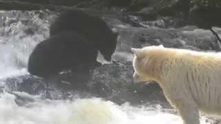 Spirit Bear & Cubs Fishing