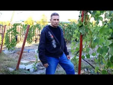 Выбор места, посадки винограда.
