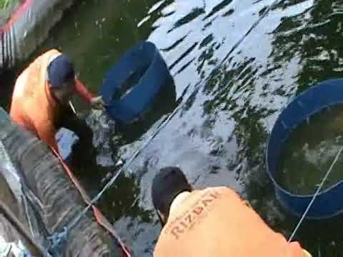 Video panen ikan gurami di kolam terpal bpk.prihatmono