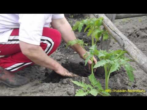 Когда и как высаживать томаты в открытый грунт.