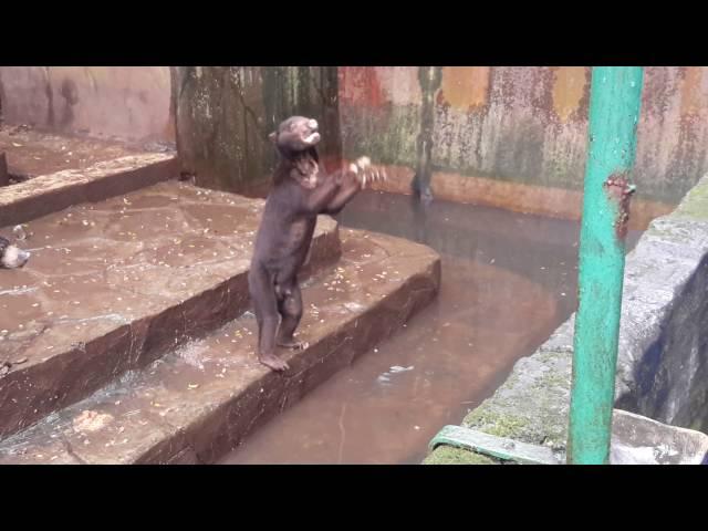 Video Viral Beruang Madu Mengemis Makanan