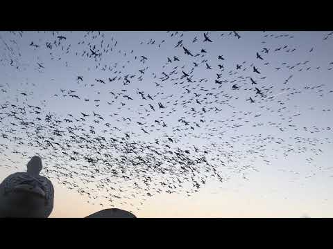 arkansas-spring-snow-goose-hunting-with-the-goose-guys