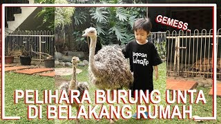 Download Video Pelihara Burung Unta di Belakang Rumah..!! MP3 3GP MP4