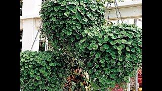Что такое ампельные растения видео