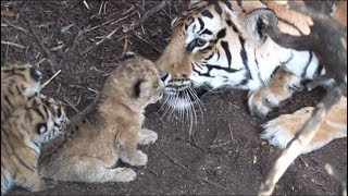 Tigress raises lion cub - hunt together when adults. Help save lions and tigers. Share our post
