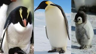 Cute and crazy penguins fun and fails