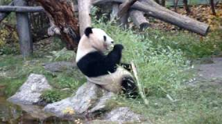 preview picture of video 'Panda Yang Yang au zoo de Schonbrunn (Vienne - Autriche)'