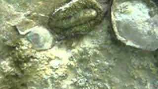 preview picture of video 'Chitons  at columbus cove labadee haiti'