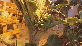 Зэки вырастили лимоны и бананы. Real video
