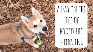 A Day in the Life of Kyoto the Shiba Inu