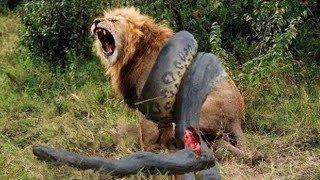 LION vs ANACONDA REAL FIGHT!! WILD ANIMALS FIGHT!!