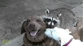 Смешные животные- енот против собаки! Ржака
