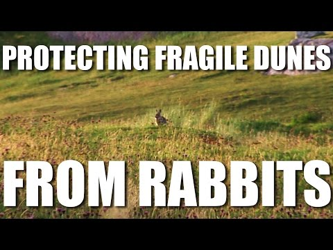 Protecting Fragile Dunes from Rabbits
