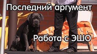 Непослушный щенок кане корсо, дрессировка ЭШО, последний аргумент