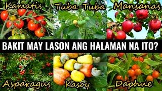 Nakakalason na Parte ng Prutas o Halaman    Poisonous Parts of Fruit /Plant   Historya