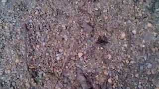 preview picture of video 'Black ant is carrying its prey ( My third video ).'