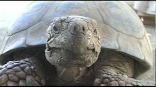 Endangered Desert Tortoise - Tom Porter