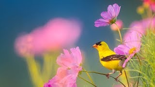 "Peaceful Instrumental Music, Relaxing Nature music 'Song Birds of Morning"" By Tim Janis"