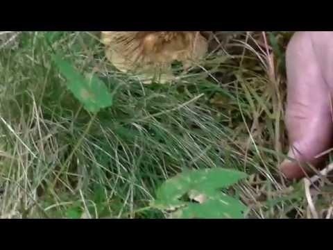 Come guarirà un fungo di unghia un fungo di tè