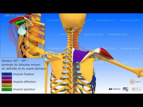 Les muscles où les côtes