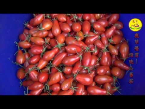 2016.12 設施小番茄