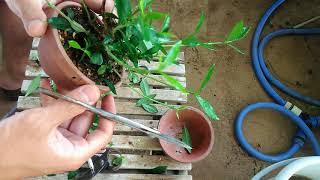 クチナシ2号芽切り&葉刈り_Gardeniajasminoides_No.2Budcut&leaftransparent_2017年8月3week_BONSAI盆栽