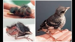 How to take care of baby birds/sparrow/Robins/Parrots/Crows/Myna/Starlings/ANY SEED EATING BIRDS