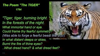Tiger - King of Beasts?