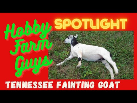 , title : 'HFG Spotlight: Tennessee Fainting Goat