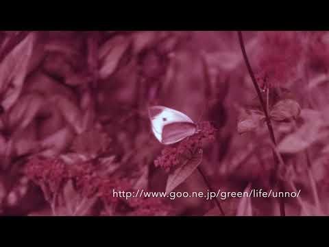 紫外線で見たモンシロチョウの世界