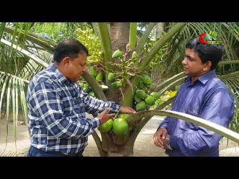 ৩ বছরের নারিকেল গাছে শতাধিক ডাব বাংলাদেশের মাটিতে- খাটো জাতের নারিকেল(Dwarf coconut)
