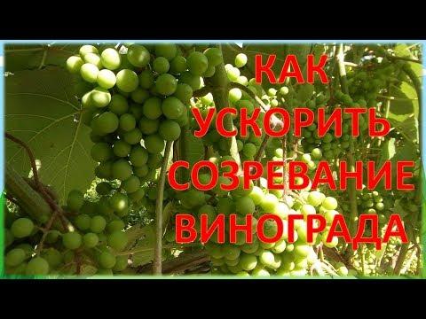 ВИНОГРАД ОТ ЭТОГО СОЗРЕЕТ РАНЬШЕ НА ДВЕ НЕДЕЛИ. Как ускорить созревание винограда на севере.