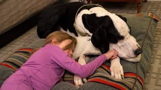 Service Great Dane Who Helps 11-Year-Old Walk Gets Best Day Ever