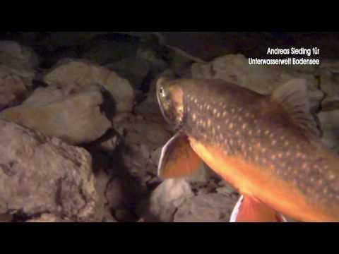 Seesaiblinge im Überlinger See
