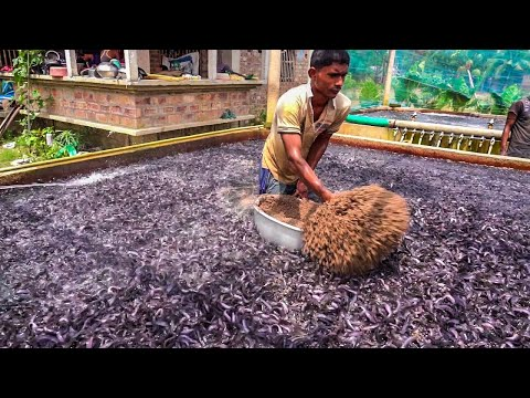 Hybrid Magur Fish Farming Business In India | Feeding Live Food To Catfish part-3 Fish World