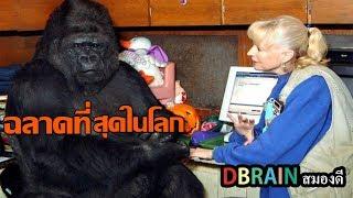 โกโก้ 'กอลิลล่าที่ฉลาดที่สุดในโลก'ใช้ภาษามือได้1000คำและเข้าใจภาษาอังกฤษได้2000คำ - DBRAIN สมองดี
