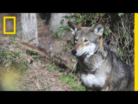 Is It OK to Let These Wolves Go Extinct in the Wild? | National Geographic thumbnail